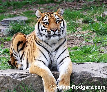 Golden Tiger at the Buffalo Zoo.