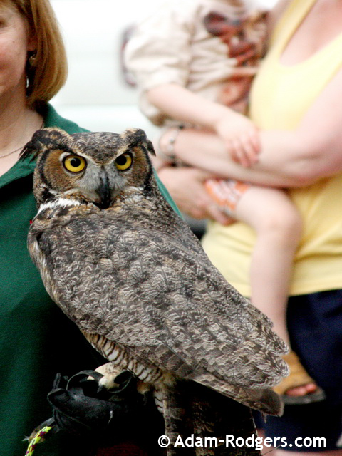 GHO the Great Horned Owl from Wild Wings