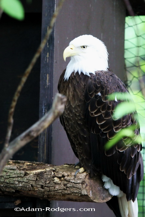 Bald Eagle at Seneca Park Zoo