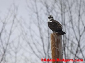 Osprey in Hilton (Pandion haliaetus)